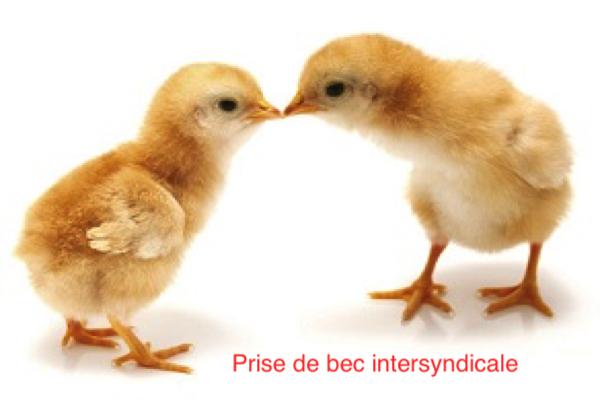 un-poulet-en-colere-peut-tres-vite-devenir-un-coq-de-combat Resized