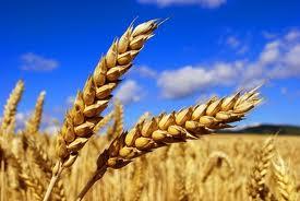 Képi sans blé