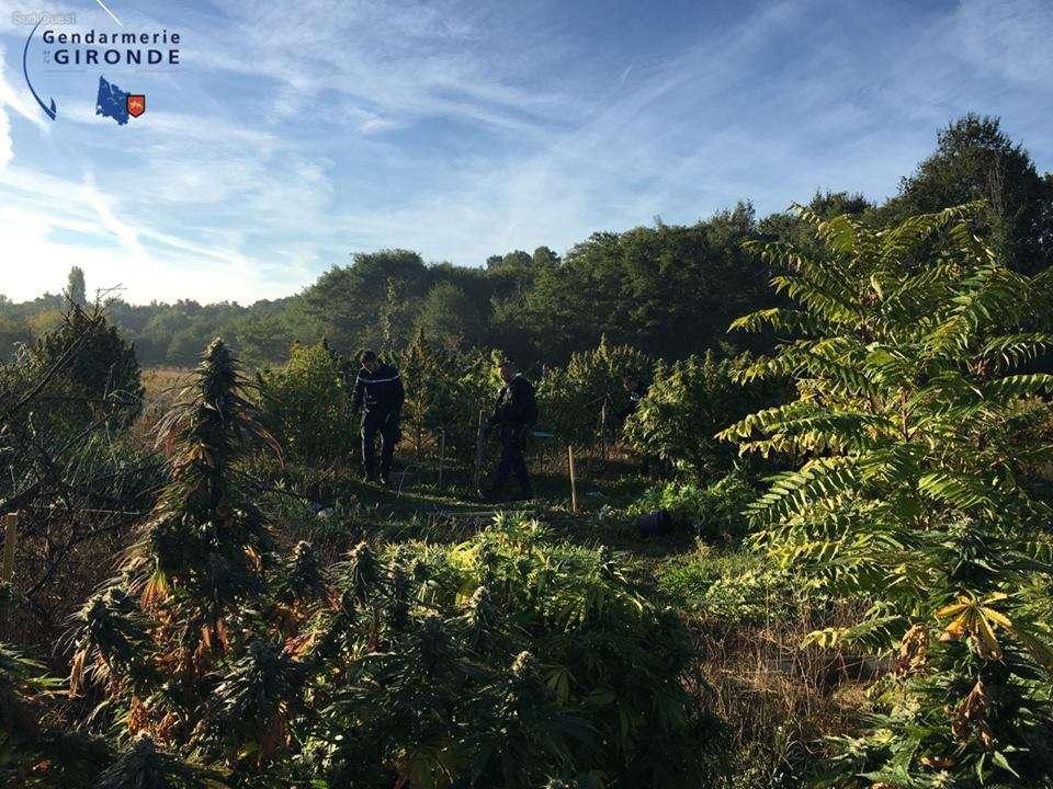 gironde-132pieds-de-cannabis-decouverts-dans-le-langonnais-trois-personnes-interpellees