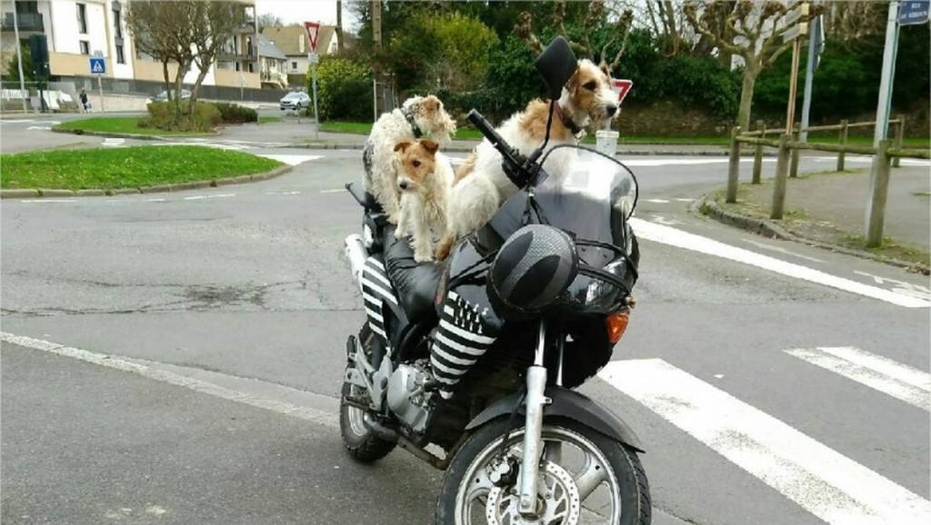 4cb50630713153d53637957793c0876f-insolite-saint-malo-il-circulait-avec-trois-chiens-sur-sa-moto