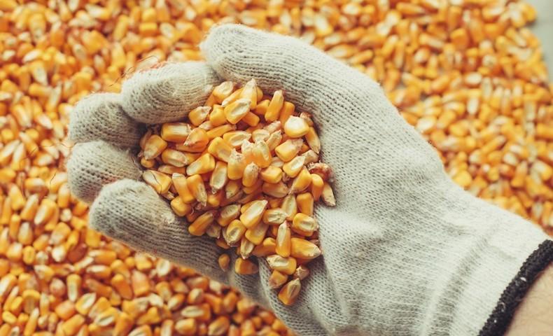 Handful of harvested corn kernels